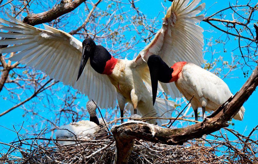 Бразильский ябиру кормит птенца