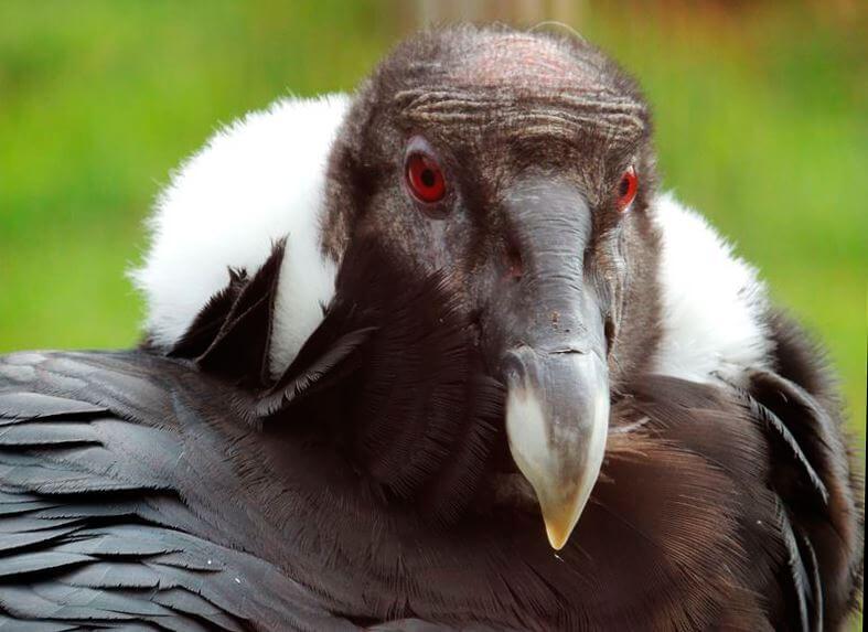 Голова Vultur gryphus)