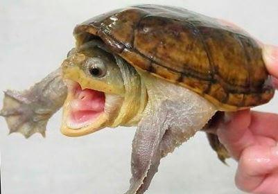 golovastaya ilovaya cherepaha Головастая иловая черепаха