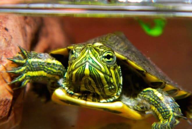 Камберлендская черепаха фото