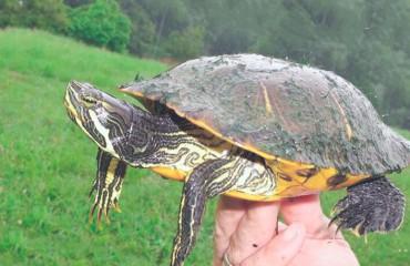 Камберлендская черепаха