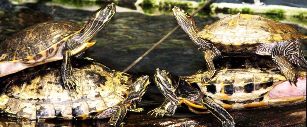 черепахи Труста фото