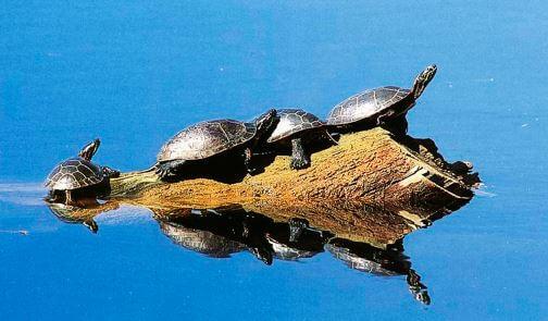 Компания Камберлендских черепах плывёт на бревне