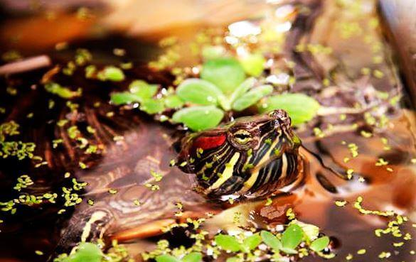 Кормление красноухой черепахи растениями