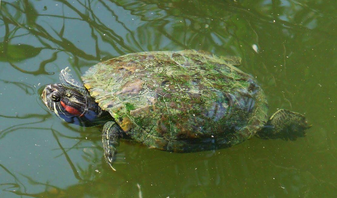 Красноухая черепаха плывёт по воде