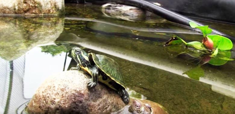 krasnouhaya presnovodnaya cherepaha v akvaterrariume Красноухая пресноводная черепаха