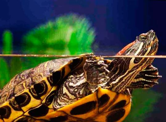 krasnouhaya presnovodnaya cherepaha vysunula golovu iz vody Красноухая пресноводная черепаха