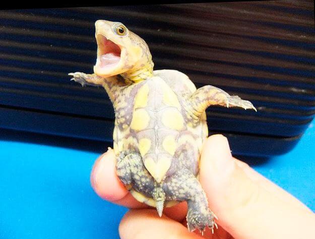krichashhaya golovastaya ilovaya cherepaha Головастая иловая черепаха