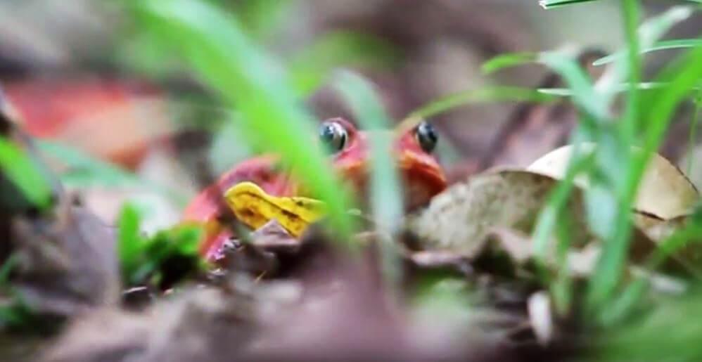 Лягушка-помидор в зарослях