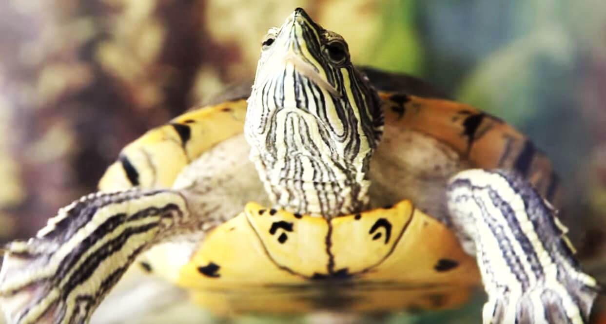 mordochka krasnouhoy presnovodnoy cherepahi Красноухая пресноводная черепаха