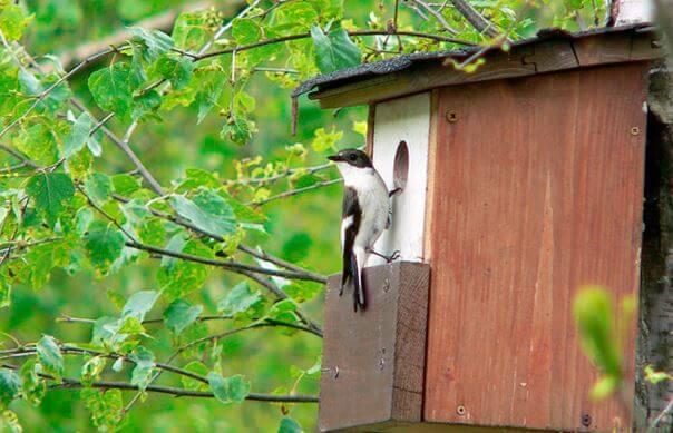 Мухоловка-пеструшка возле гнезда