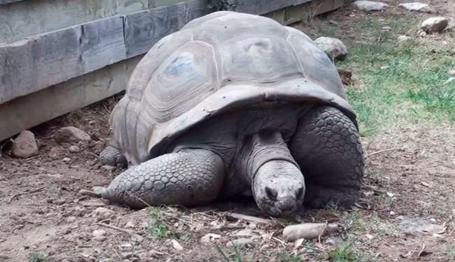 Сейшельская гигантская черепаха фото