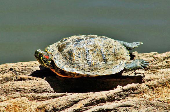 Самка Красноухой пресноводной черепахи