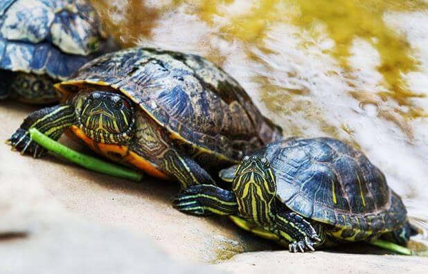 Пара Красноухих пресноводных черепах