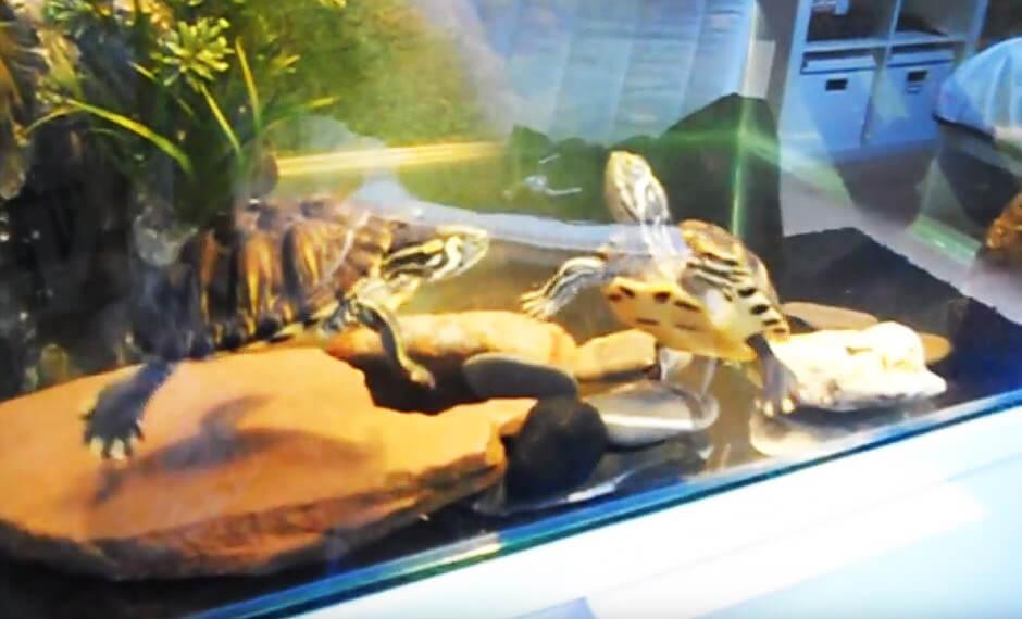 Содержание в аквариуме желтобрюхого слайдера