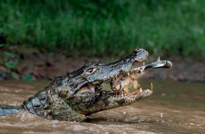 Удачная охота парагвайского каймана