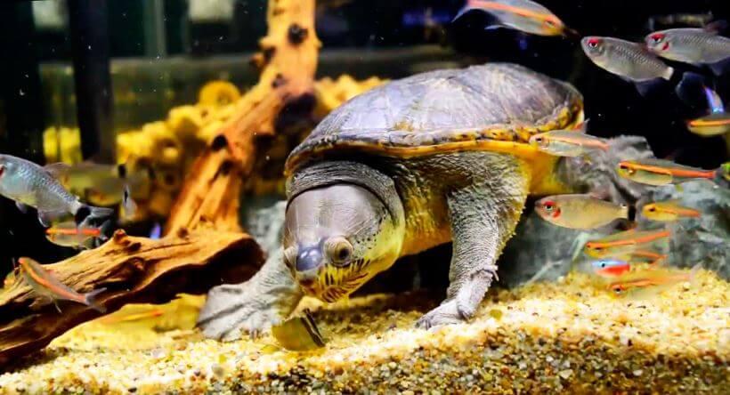 Аквариум с илистой черепахой