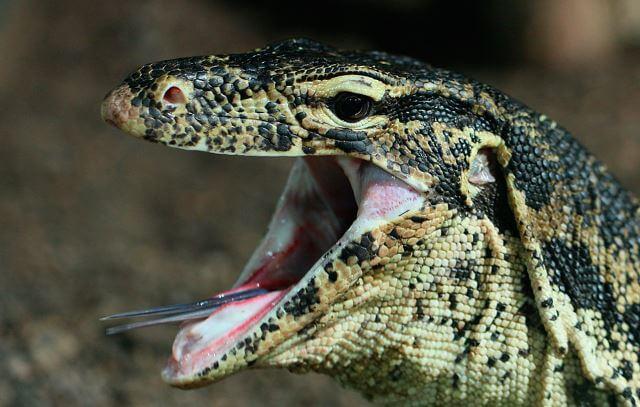 Varanus salvator фото