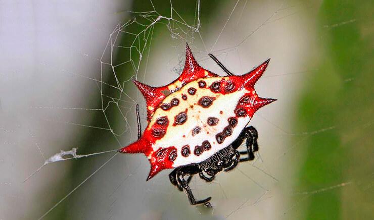 Шипастый паук-кругопряд фото
