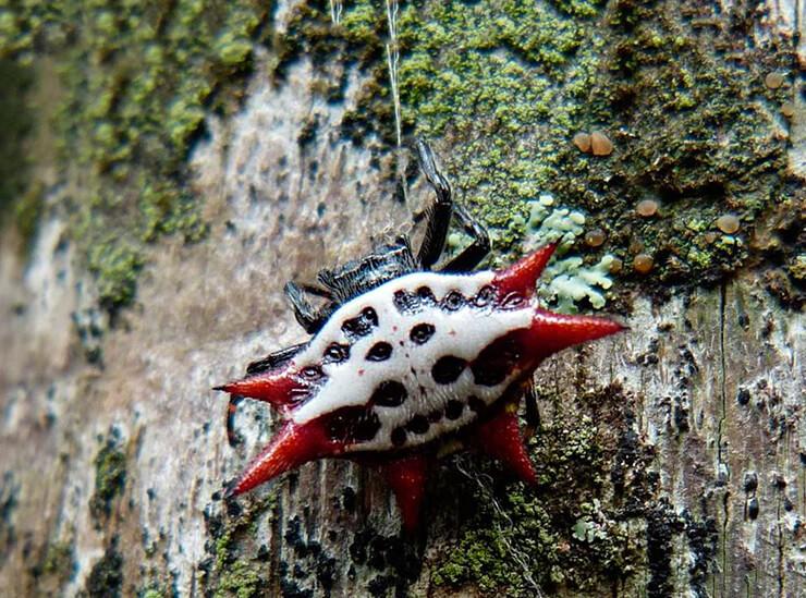 Рогатый паук фото