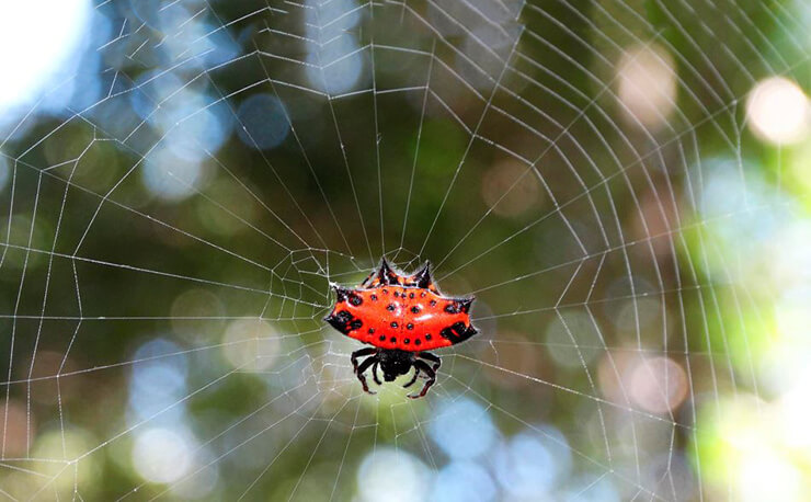 Фото рогатого паука