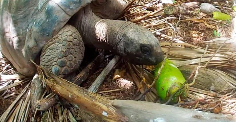 Альдабрская гигантская черепаха кушает овощи