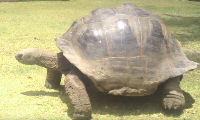 Черепаха на прогулке