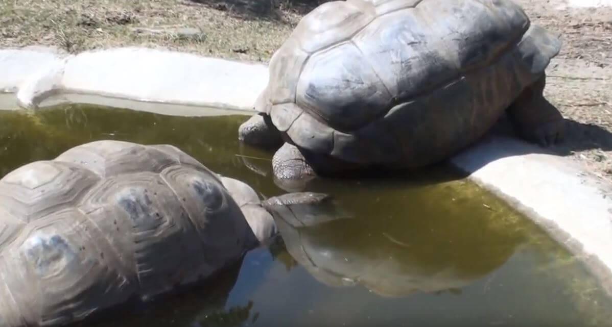 Размножение Сейшельская гигантская черепаха