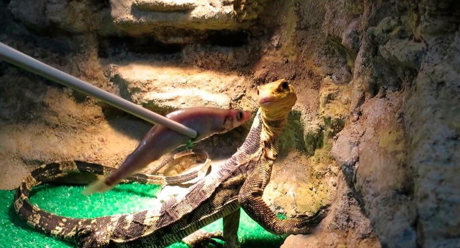 Содержание водяного варана в аквариуме