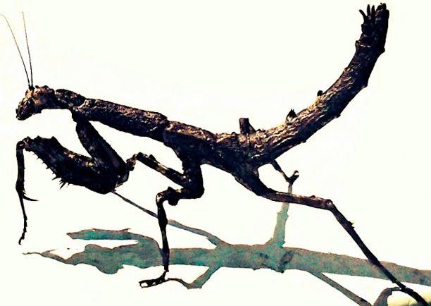 vneshniy vid afrikanskiy vetochnyy bogomol Африканский веточный богомол