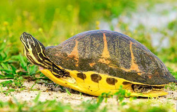 Внешний вид камберлендской черепахи