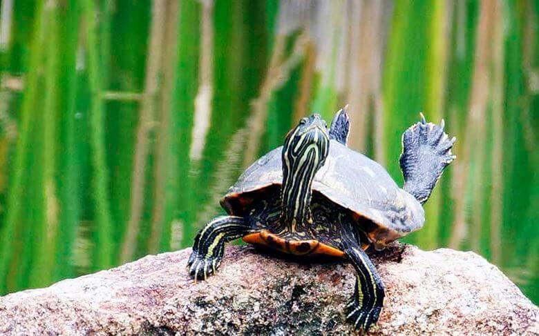 vneshniy vid krasnouhoy presnovodnoy cherepahi Красноухая пресноводная черепаха
