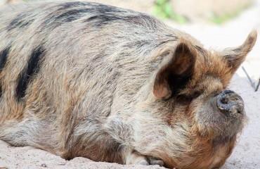 Свинья кун-кун