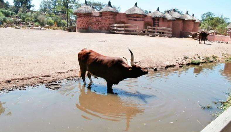afrikanskaya korova vatussi na vodopoe Африканская корова ватусси