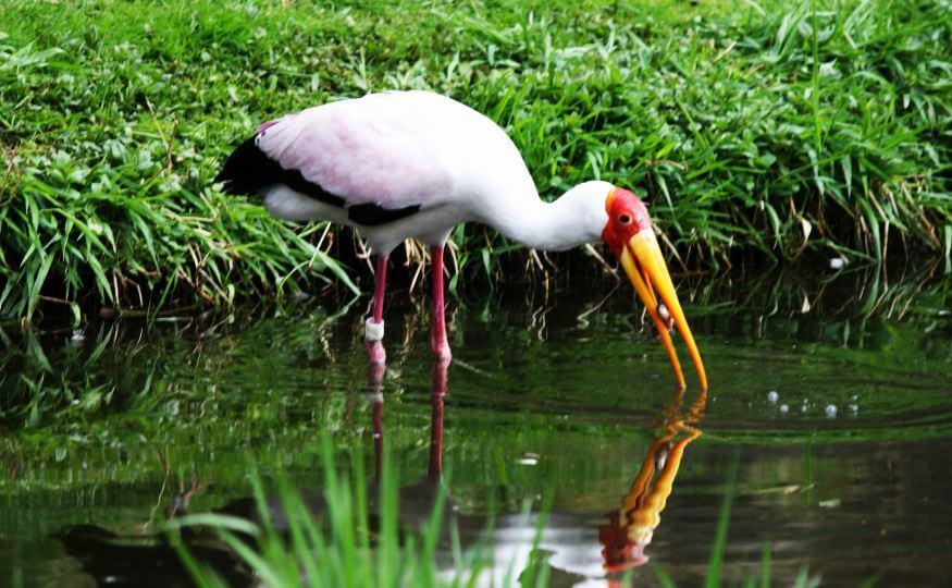 Mycteria ibis в пруду