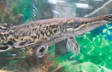 Риба-алігатор, або міссісіпський панцирник