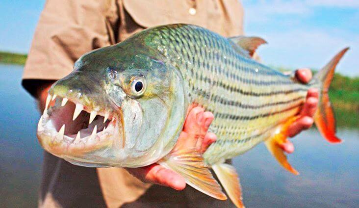 bolshaya tigrovaya ryba s otkrytoy pastyu Большая тигровая рыба
