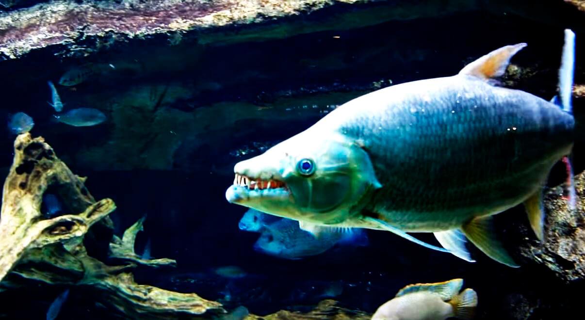 bolshaya tigrovaya ryba v akvariume 1 Большая тигровая рыба