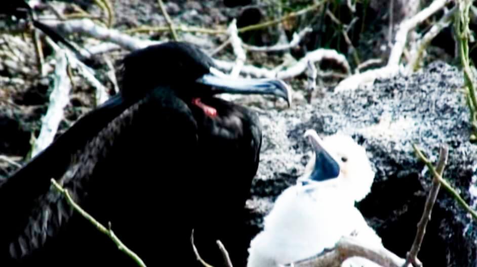 Гнездо с самкой и птенцом большого фрегата