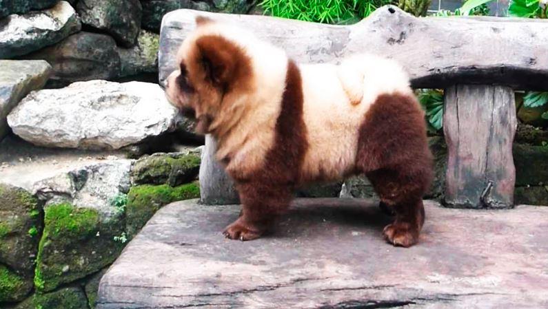 Прогулка Чау-чау панды