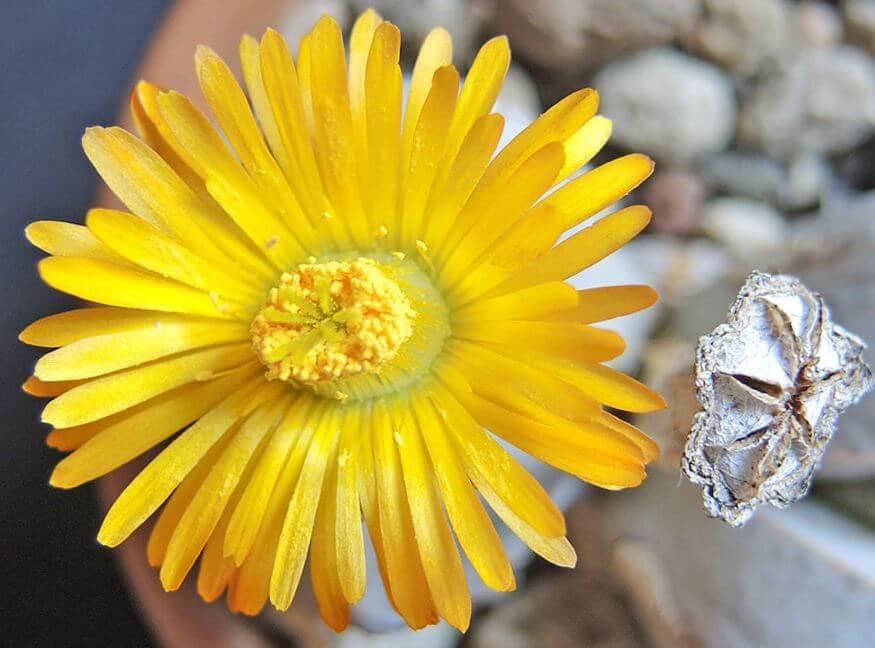 Цветок динтерантуса вильмотиануса