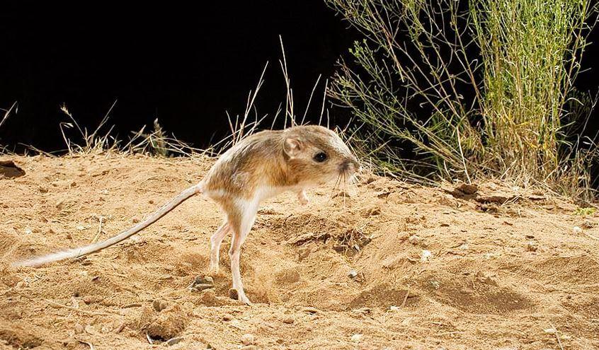 gigantskiy kengurovyy prygun na zadnih lapah Гигантский кенгуровый прыгун