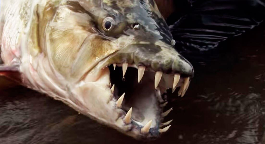 golova bolshaya tigrovaya ryba Большая тигровая рыба