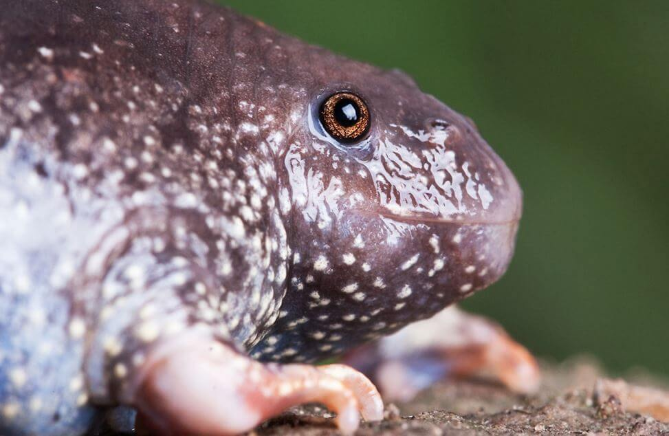 Носатая жаба фото
