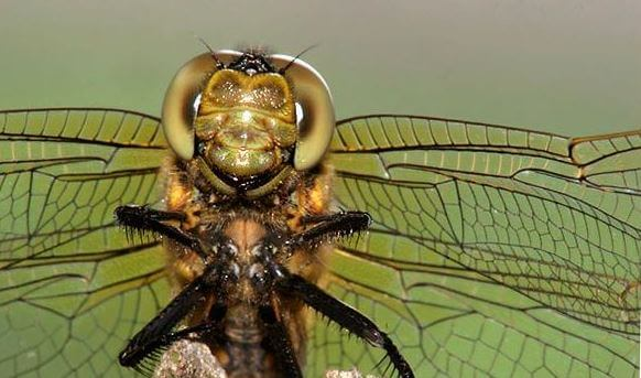 Голова стрекозы решетчатой