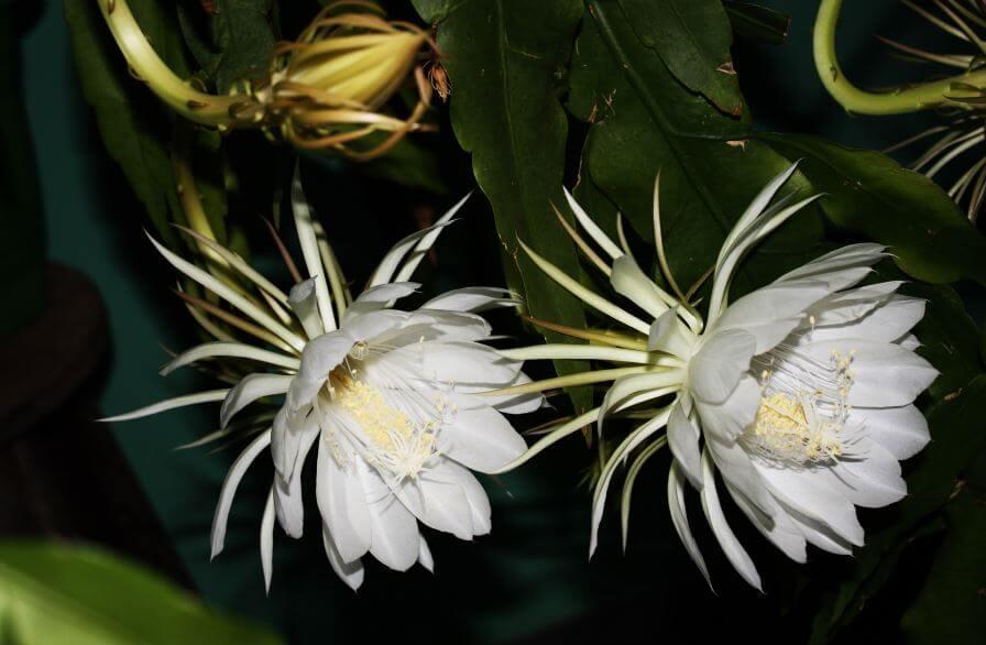 Крупные цветы Кактуса эпифиллума остролепестного