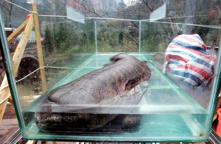 Содержание в домашних условиях китайской исполинской саламандры