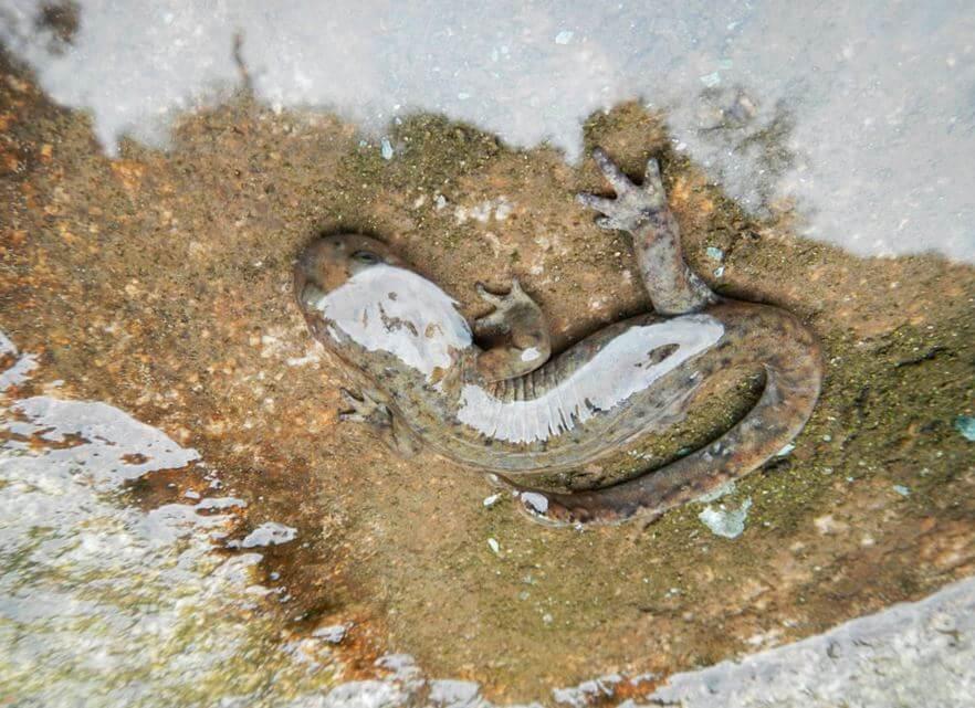 Китайская исполинская саламандра фото