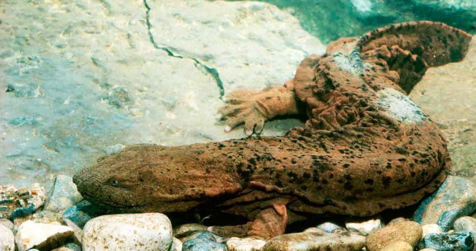 Путешествие китайской исполинской саламандры