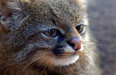 Пампасская кошка, или колоколо